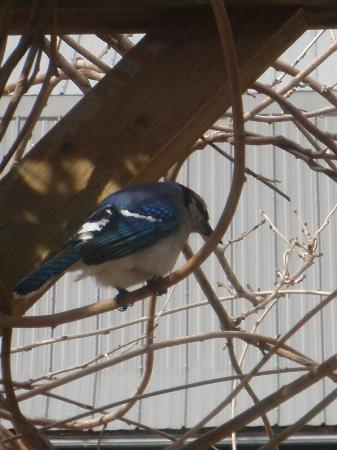 Beside The Trail Bed and Breakfast: Blue Jays Trailside