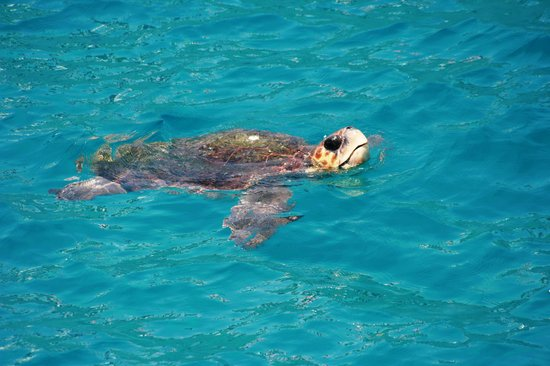Louis Zante Beach: The turtle we saw in the sea