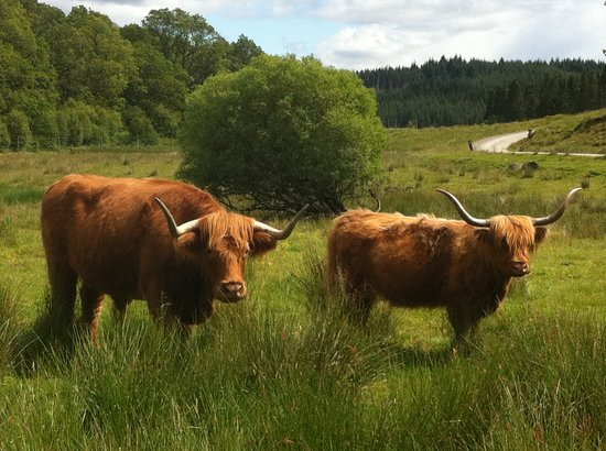The Hairy Coo - Free Scottish Highlands Tour : The Coos