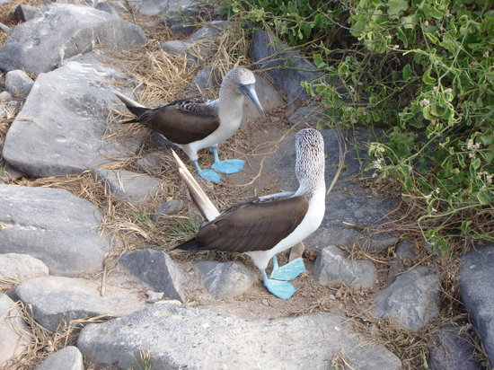 Galapagos Natural Life - Day Tours: Blue Footed Boobie Birds...wow