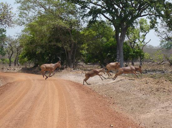 Pendjari National Park, Benin: Antilopen überqueren die Piste