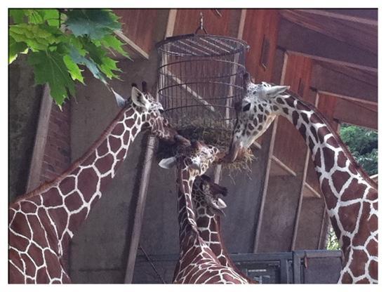 Koelner Zoo : zoo de Cologne : les girafes