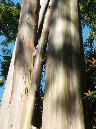 เมาอิ, ฮาวาย: regenbogeneukalyptus