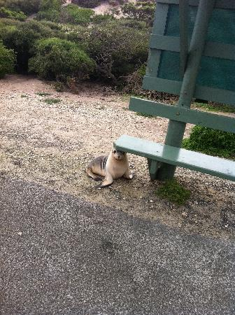 Kangaroo Island Seafront: a seal on the path at the Seal Bay tour