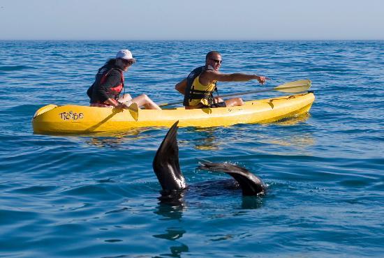 Walker Bay Adventures : Seals often visit us on our kayak tours.