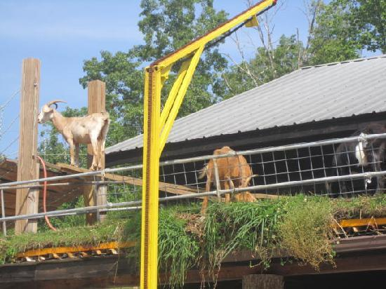 Goats On The Roof-Helen: Goats on the roof :)
