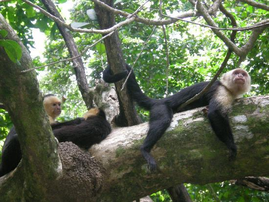 Playa Manuel Antonio : Whitefaced monkeys in the trees at the beach area