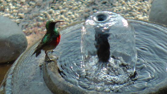 Acra Retreat - Mountain View Lodge - Waterval Boven: Bird in the garden fountain.