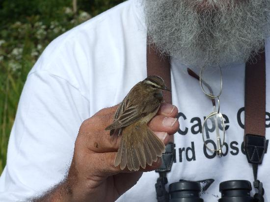 Cape Clear Island, İrlanda: Identifying birds with Cape Clear bird warden