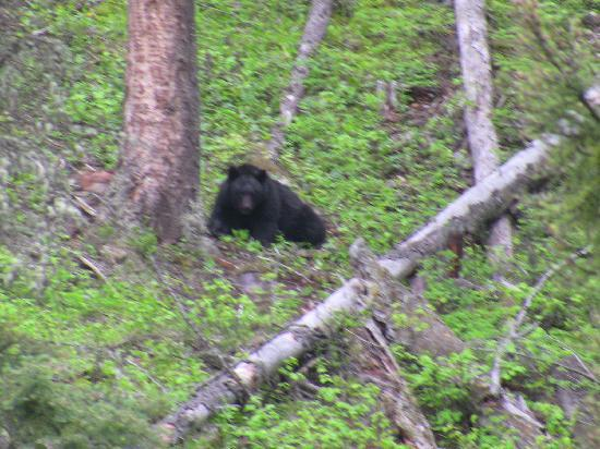 Mammoth Hot Springs Hotel & Cabins: Black Bear from trail behind hotel
