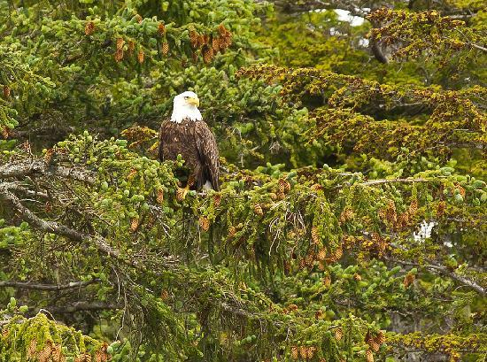 AAA Captain Black Bart Charters: Bald eagle