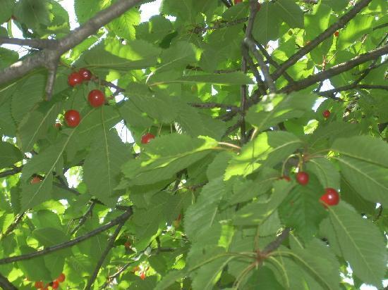 Lago di Ledro: le splendide e saporite ciliegie di Ledro
