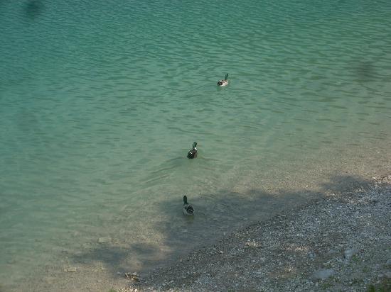 Lago di Ledro: germani reali