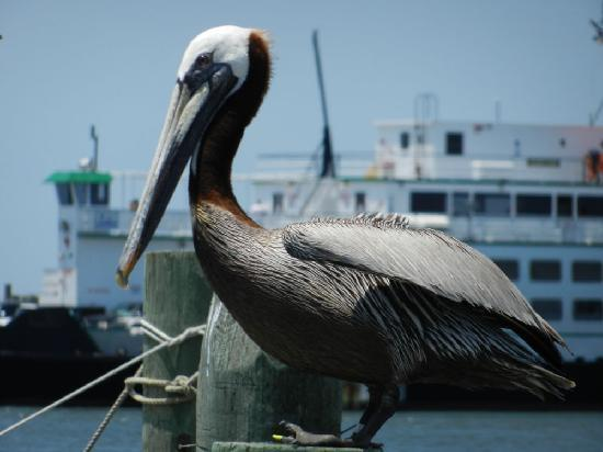 Blackbeard's Lodge: Pelican, Ochracoke Harbour