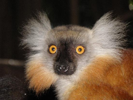 Hotel Le Zahir Lodge Nosy Be : Lemure
