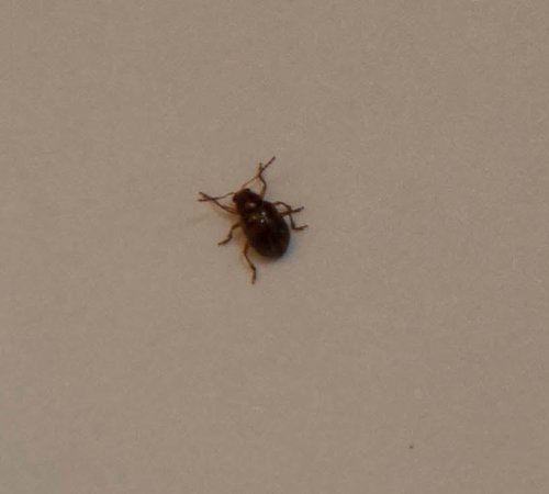Bed bug close up - photo#43