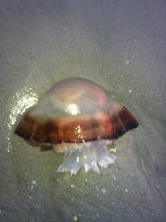 jellyfish outside long bay resort on the beach  I seen one