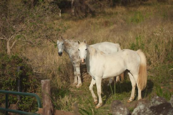 Puakea Ranch: Gorgeous horses on the property
