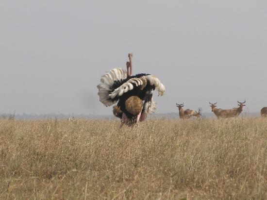 Nairobi Tented Camp: Ostrich fight