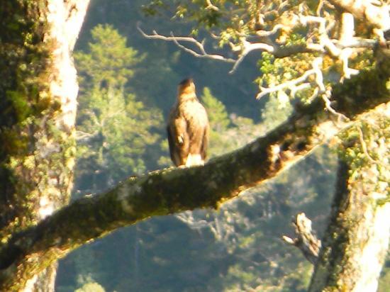 Posada Estuario Queulat: Eagle near Ecolodge Fiordo Queulat