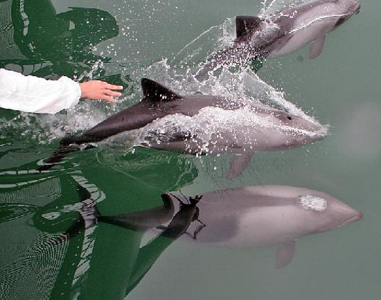 Catamaran Charters: Dolphins swimming with catamaran