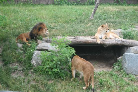 Granby Zoo (Zoo de Granby): lion and lionesses
