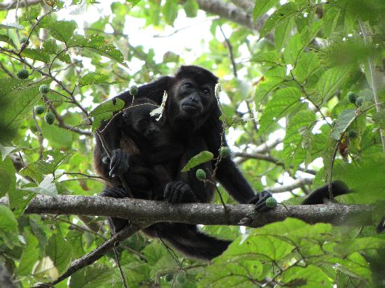 Hotel Luna Azul: Howler monkey