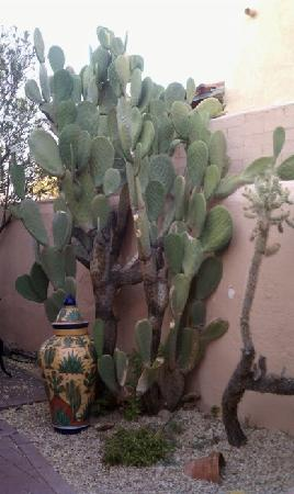 young saguaro at adobe rose inn