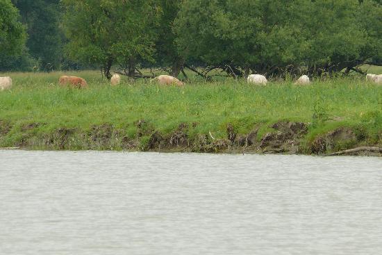 Balades en bateau - Gite du Maudit Francais: rencontre de vaches sur une île !