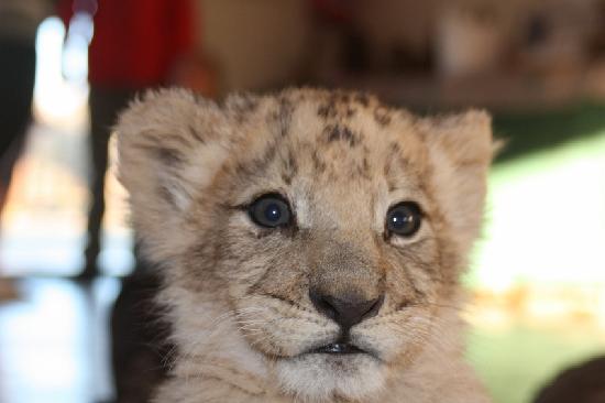 Ukutula Lion Park: Cub before feeding