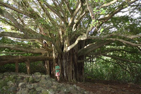 Ohe'o Gulch: Banyon Tree on hiking trail