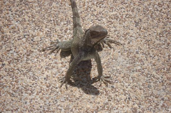 Palm/Eagle Beach, Aruba: Watch out for the iguana in the pool areas -- very agressive