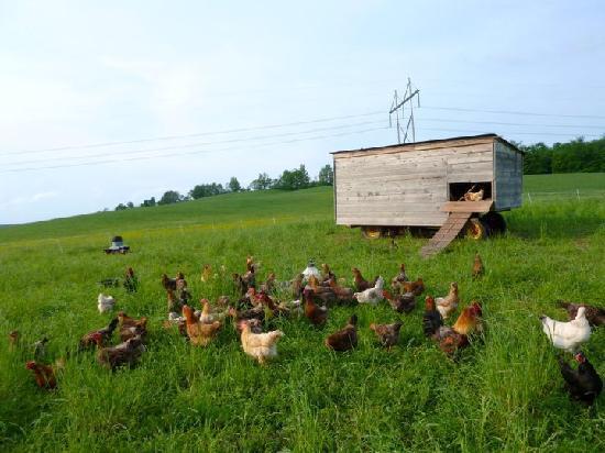 Stony Creek Farmstead : The chicken coop at Stony Creek Feather Down Farm