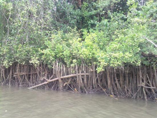 Bruce Belcher's Daintree River Cruises: Mangroves