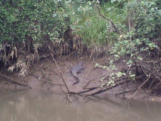 Daintree, Australien: Sun-baking crocodile