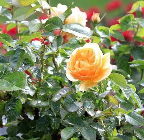 Victoria, Canada: this rose was on the terrace overlooking the pond.