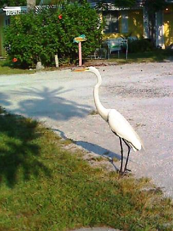 Siesta Key Beach Place : One of the guests !!
