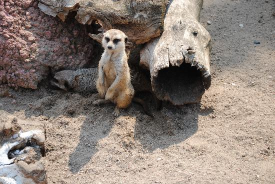 Red River Zoo: Curious Meerkat