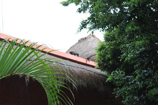 Iberostar Quetzal Playacar : Black monkeys on roof of building 26, view from balcony