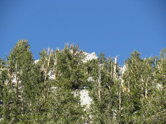 Ancient Bristlecone Pine Forest: Ancient Bristlecones