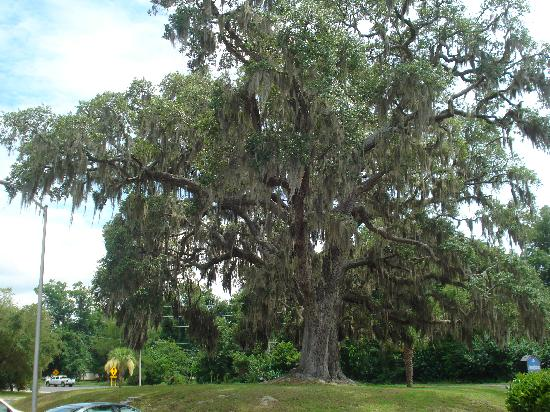 Howard Johnson Inn Beaufort/Parris Island: oak tree