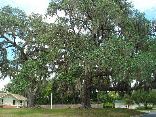 Howard Johnson Inn Beaufort/Parris Island: 2 oak tree