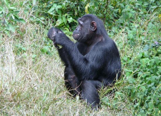 Ngamba Island Chimpanzee Sanctuary: Ngambaisland