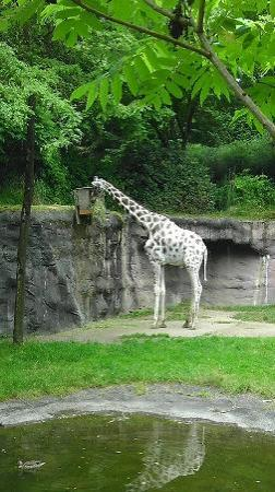 Oregon Zoo: Beautiful giraffe