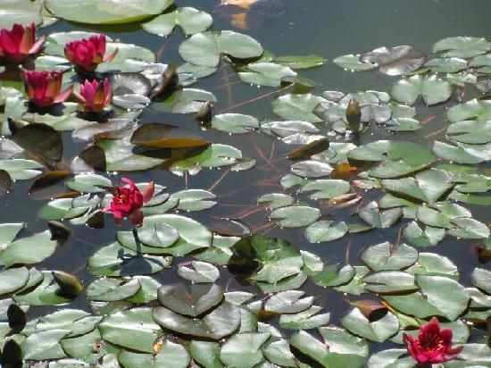 Oranien Park: waterlillies