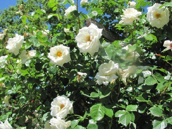 Oranien Park: white roses for a blue lady...