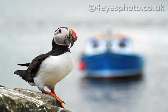 The Bakehouse B&B: Julie's big breakfast helped us to take lots of lovely puffin photos like this one.
