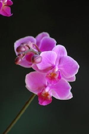 Samasati Retreat & Rainforest Sanctuary: orchidea