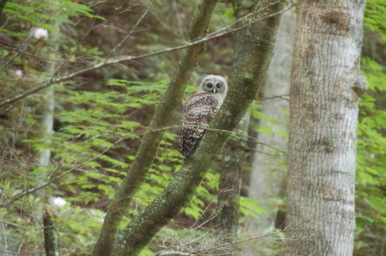 Marlinton, Virginia Occidental: Owl