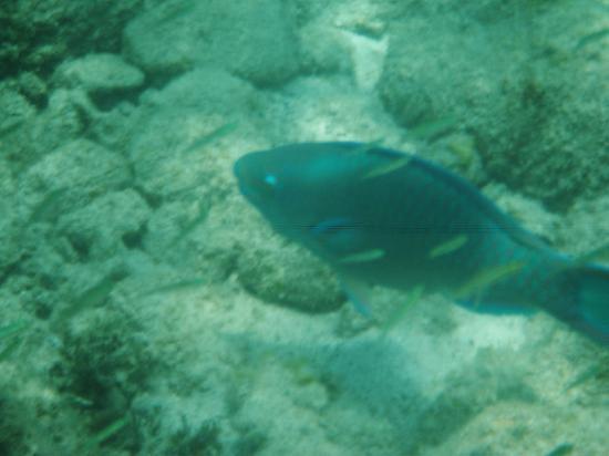 Sand Dollar Snorkel Trip : Parrot Fish